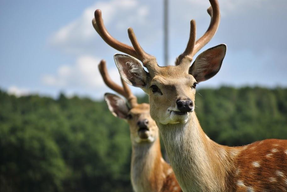 Маньчжурські олені