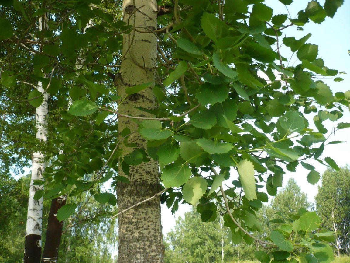 Осика: властивості дерева і застосування деревини. Осика: догляд ...