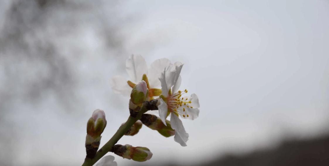 Квітуча алича в Севастополі