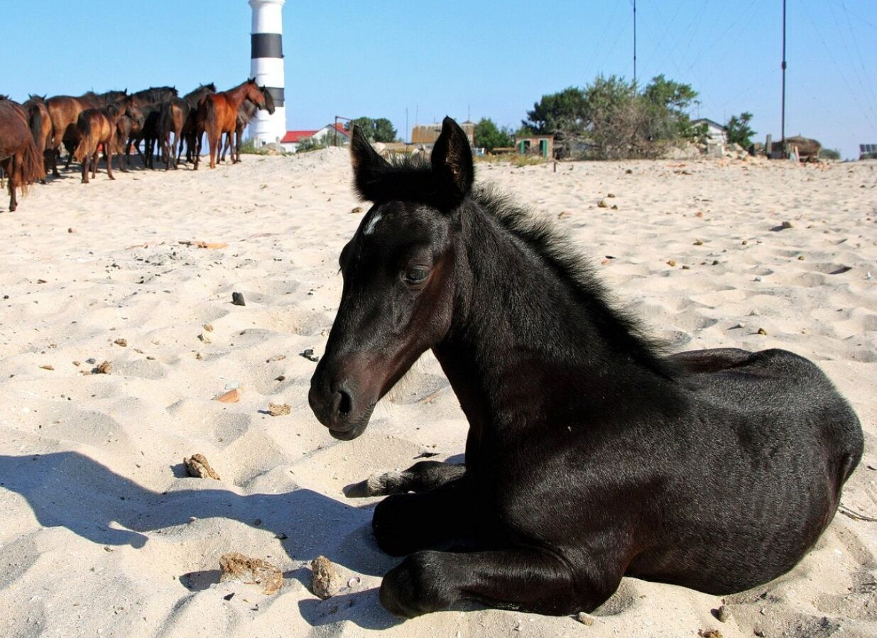 Дикі коні на Тендрі часто приходять стадом на водопій до маяка